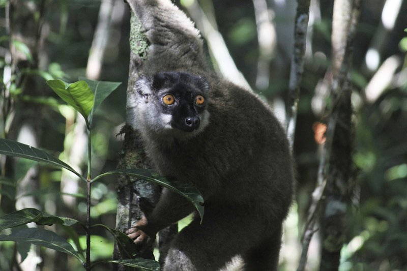 A black lemur perched in a tree.