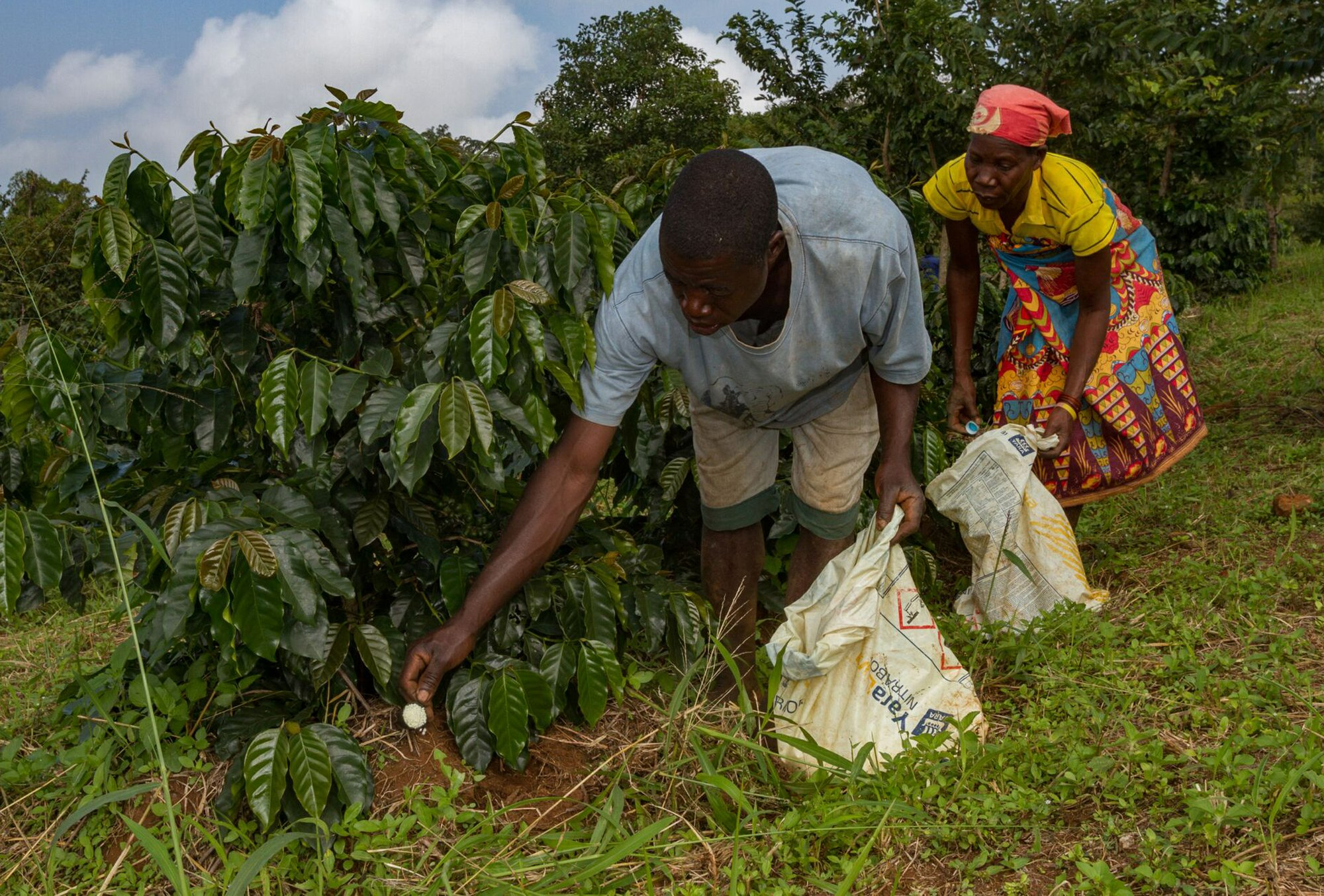 Photograph of workers fertilizing coffee plants.