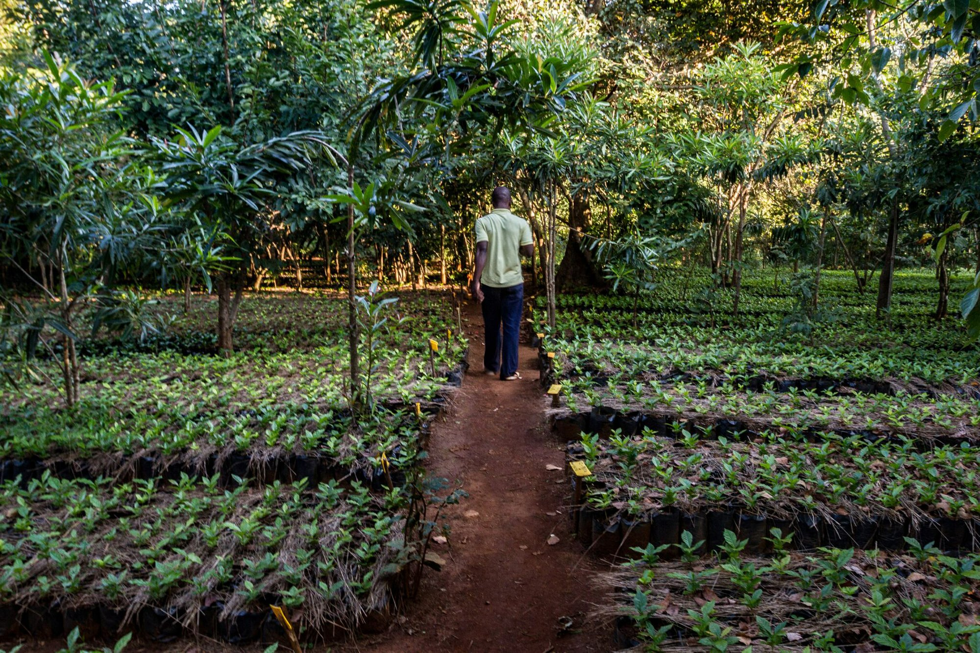 Photograph of a worker walking through a plant nursery with rows of young coffee plants.