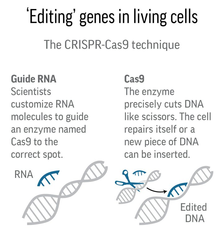 Explanation and illustration for the CRISPR-Cas9 method for editing genes in living cells using Guide RNA and Cas9 enzyme.