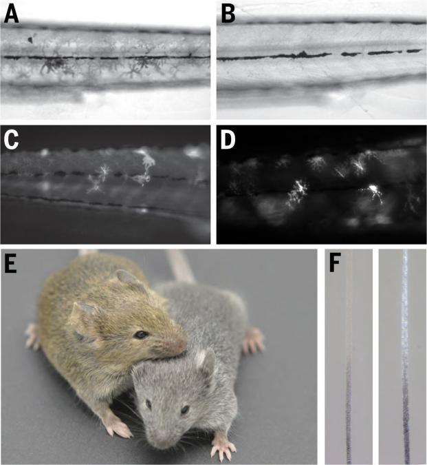 A collage of six images, labeled A through F. Image E shows two mice, one brown and one gray. The other images show closeups of different structures.
