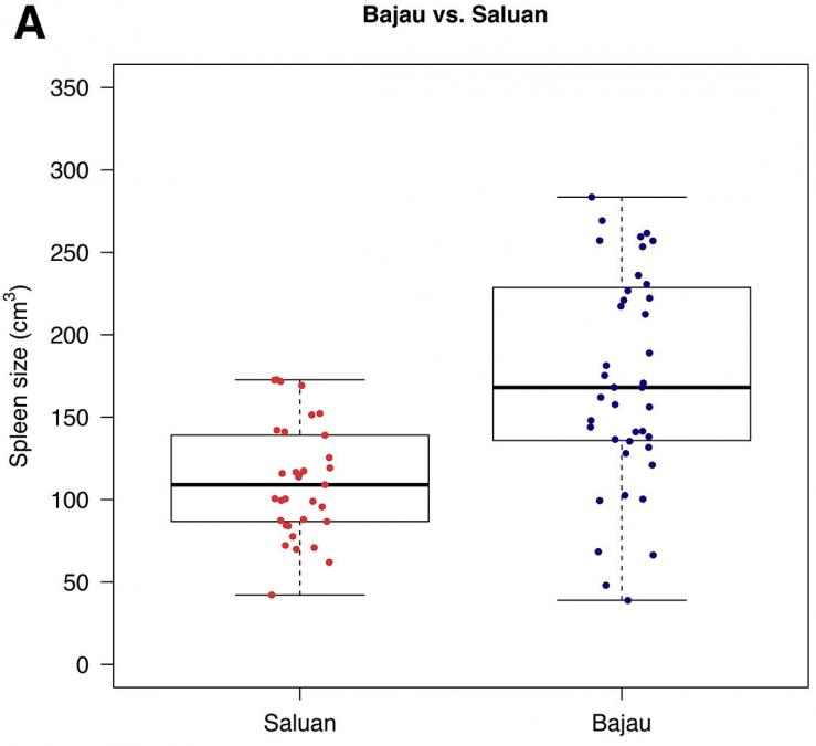 "The figure is entitled ""Bajau versus Saluan"" and is a boxplot graph. There are two points along the x-axis that are labelled with the southeast Asian populations: Bajau and Saluan. The y-axis is labeled Spleen Size in cubic centimeters and ranges from 0 to 350 in increments of 50."