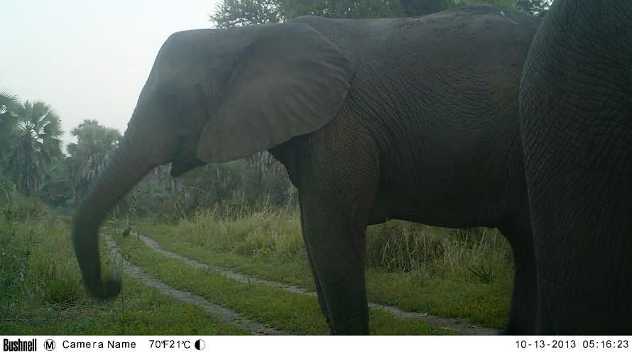 Camera trap photo of elephant without tusks