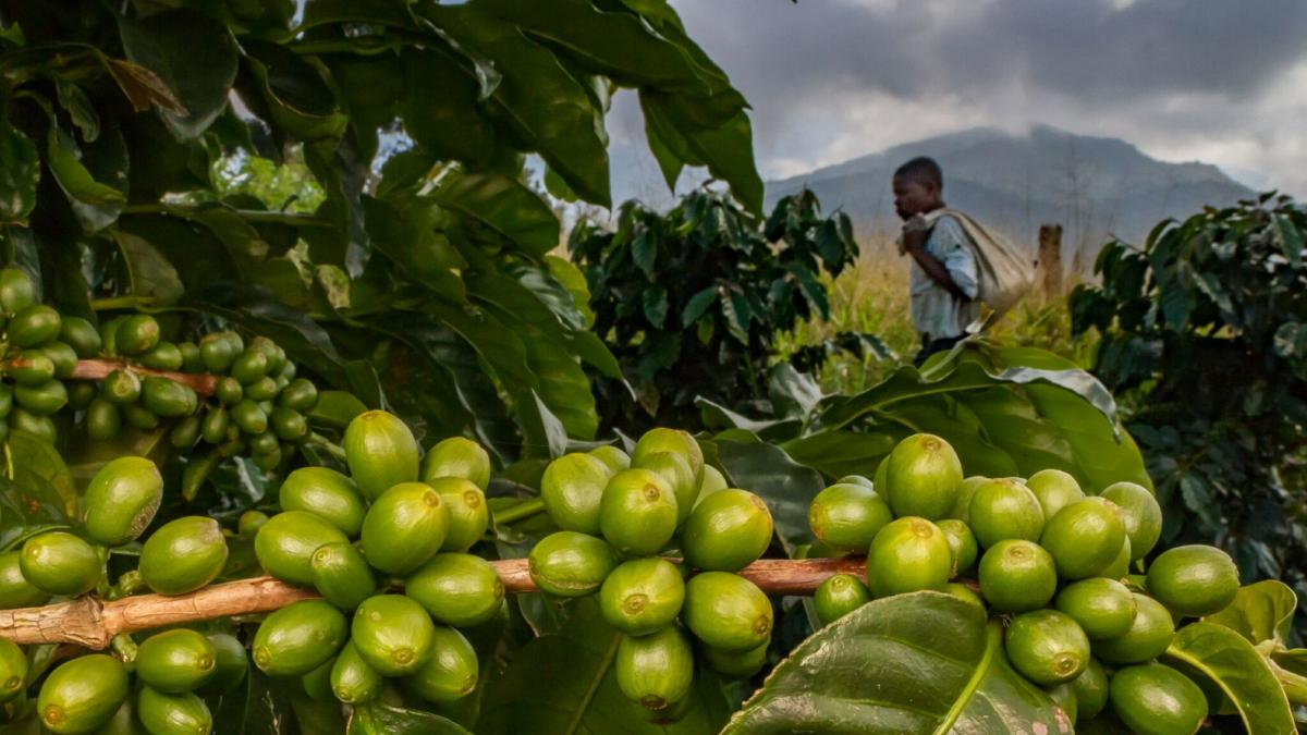 Close up photograph of beans on a coffee plant with a worker in the background.