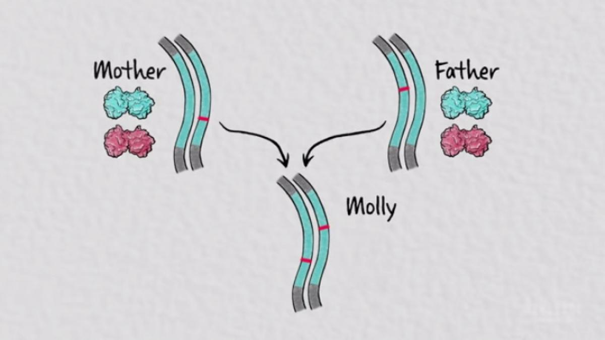 "chromosomes from parents labeled ""mother"" and ""father"" contributing to a set of chromosomes labeled ""molly"""