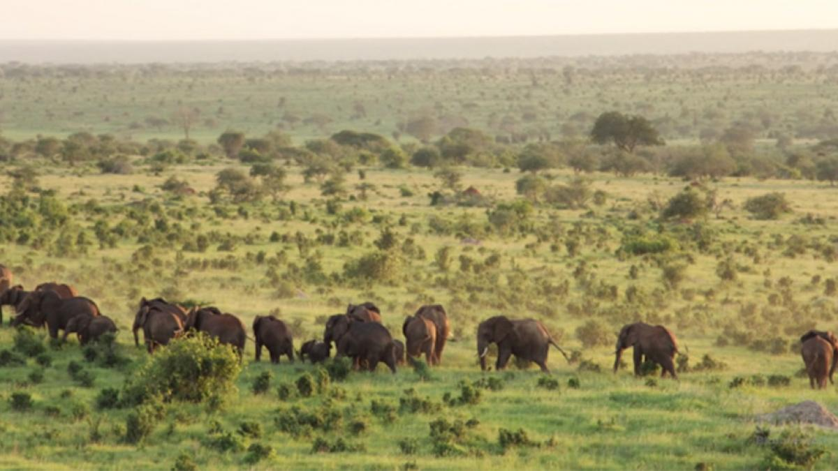 Elephants in grassland