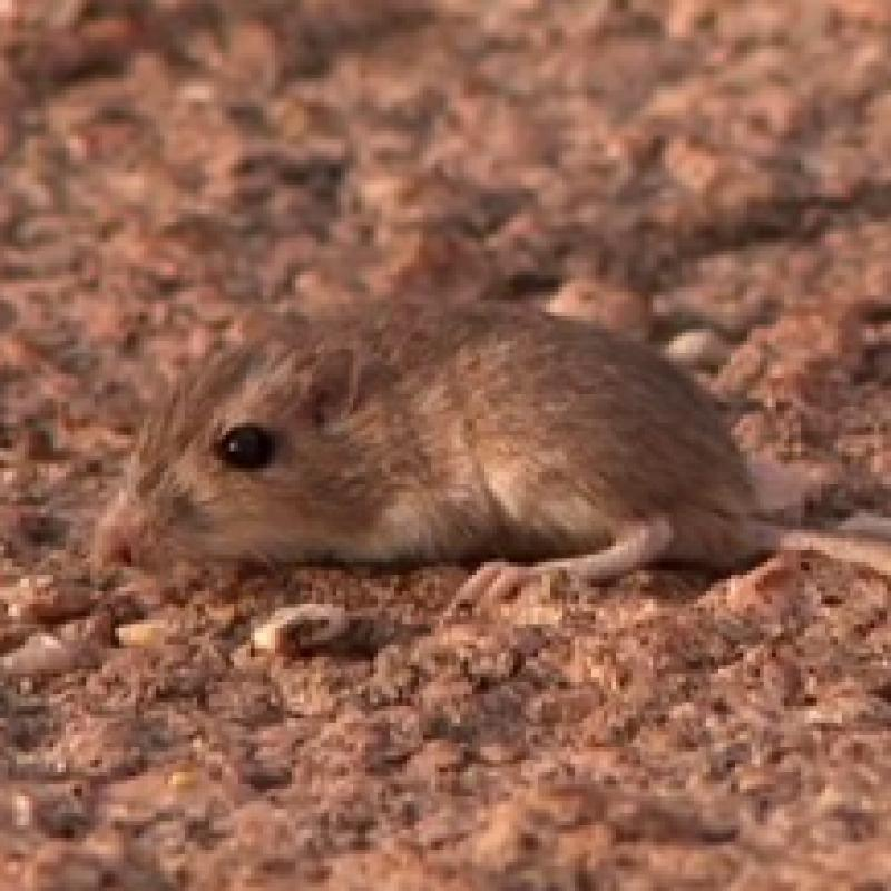 A light colored pocket mouse on light colored lava.