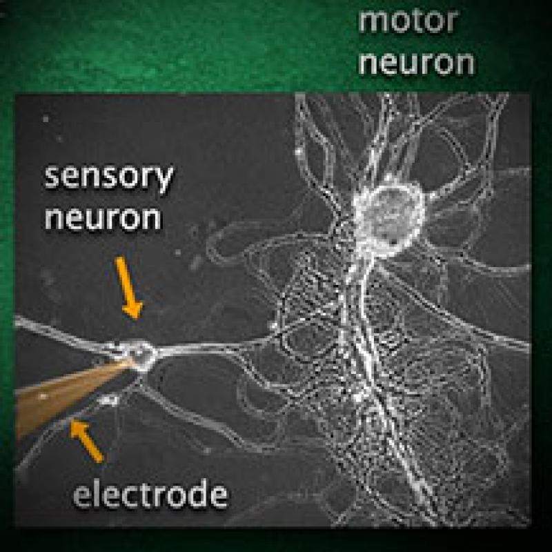 Electrical Activity of Neurons