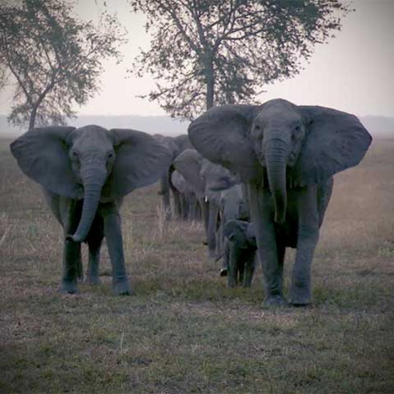 A herd of elephants, none of which have tusks