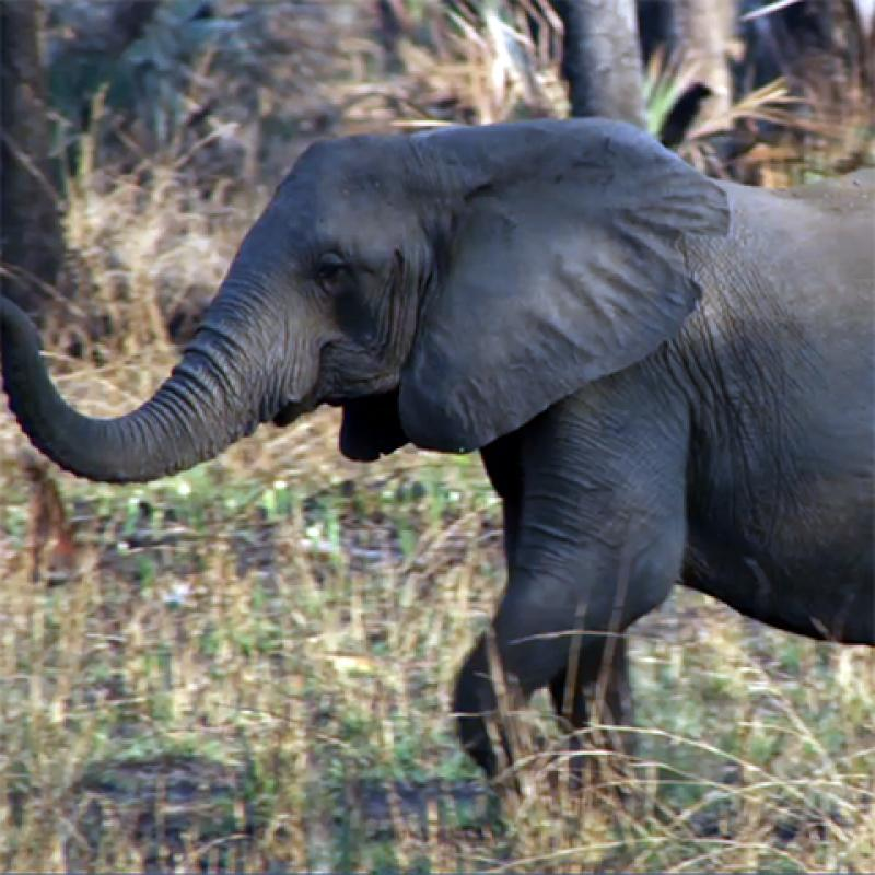 A tuskless elephant.
