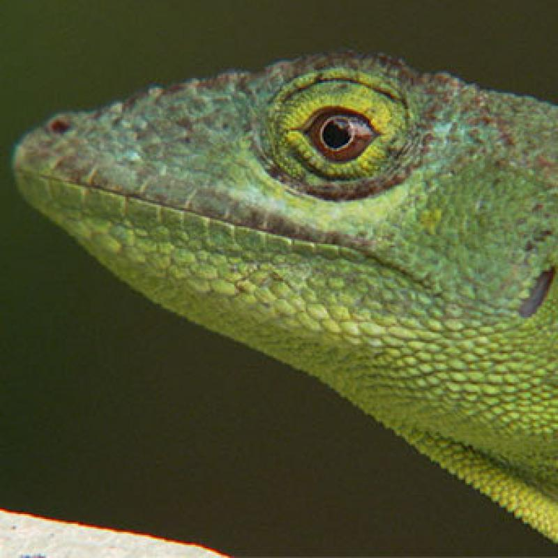 Anole lizard headshot