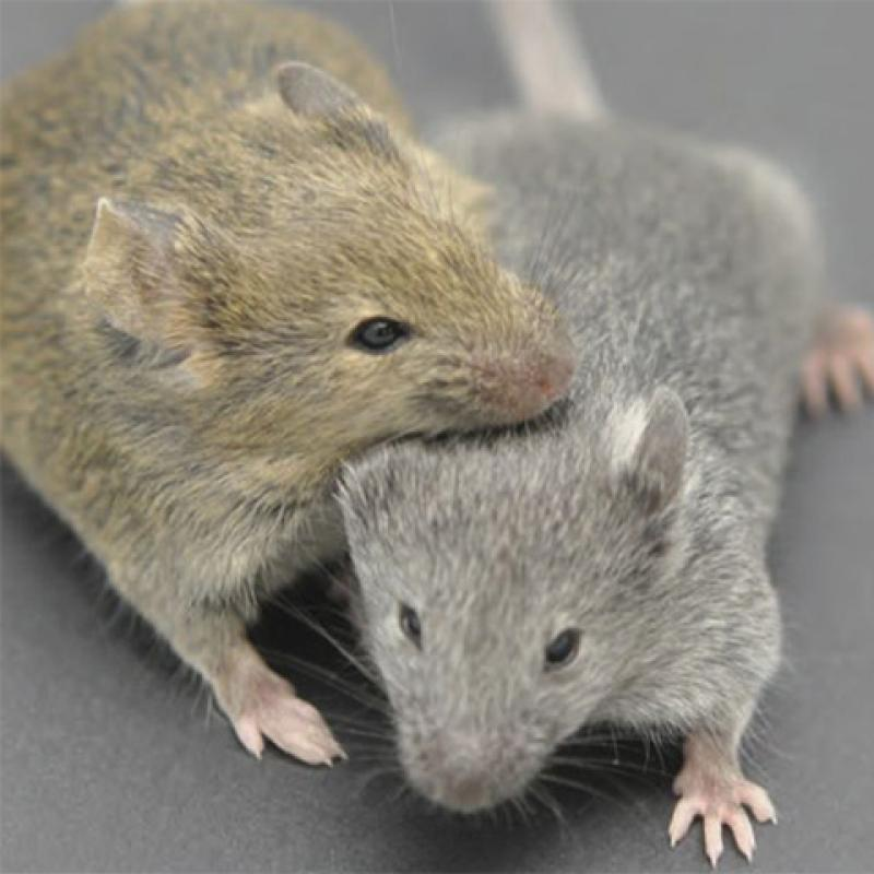 An icon showing a brown mouse nuzzling a gray mouse.
