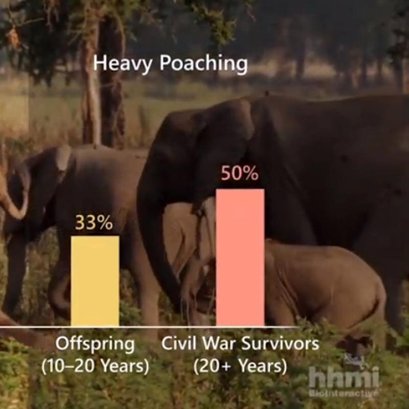 A bar graph displaying data from an elephant population undergoing heavy poaching.