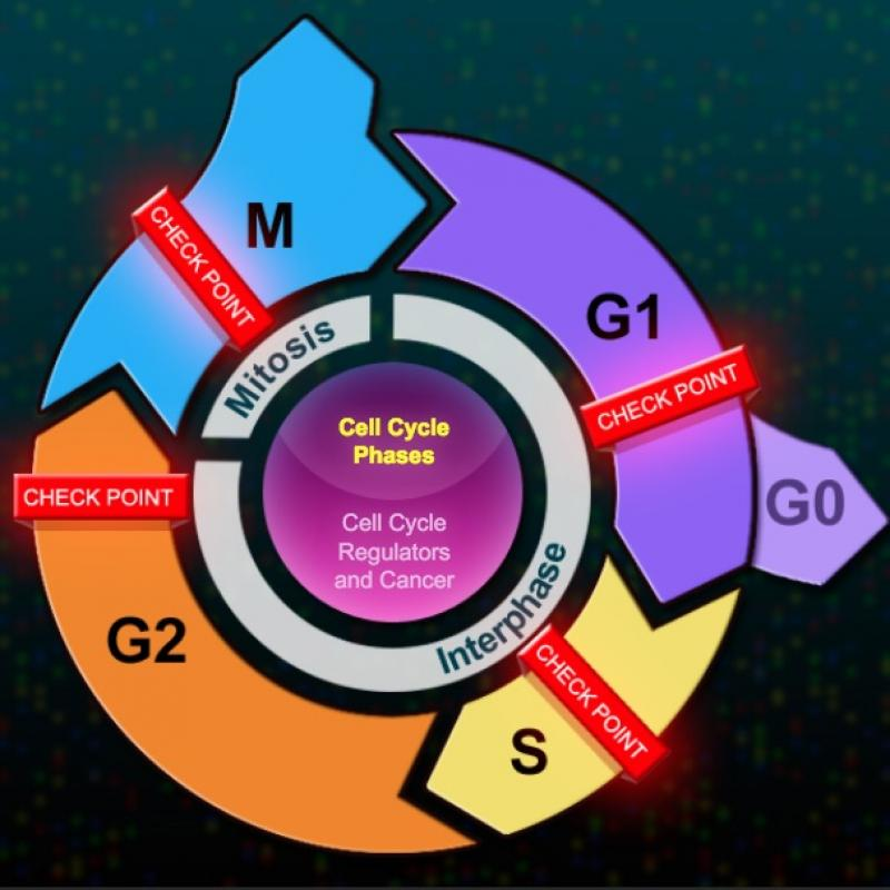 Illustration of the phases of the cell cycle
