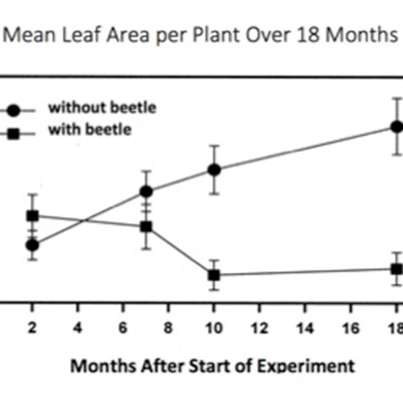 A graph of mean leaf area eaten in an experiment about the effects of introducing beetles into an environment. The graph is a line graph with error bars at each data point.