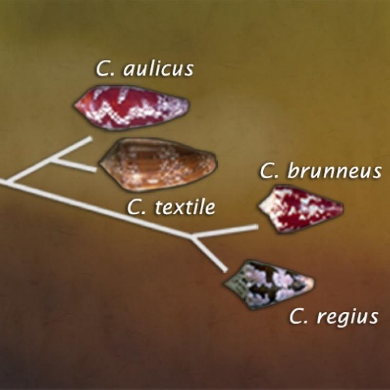 Phylogenetic tree of cone snails