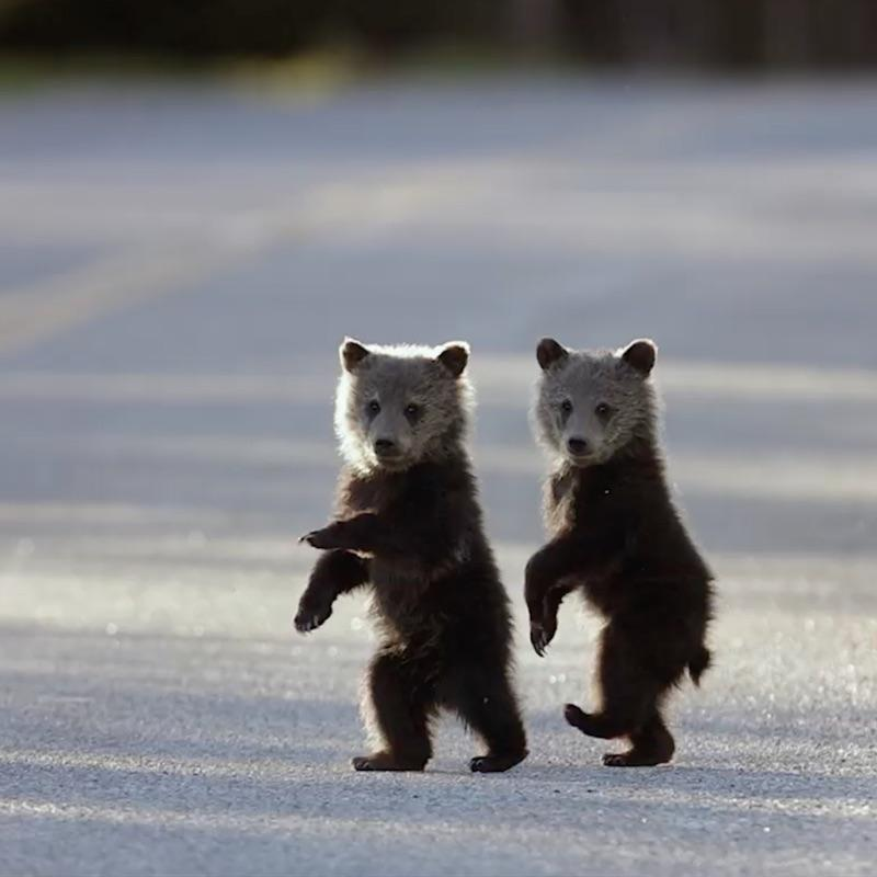 Two bear cubs walking on their hind legs crossing a road