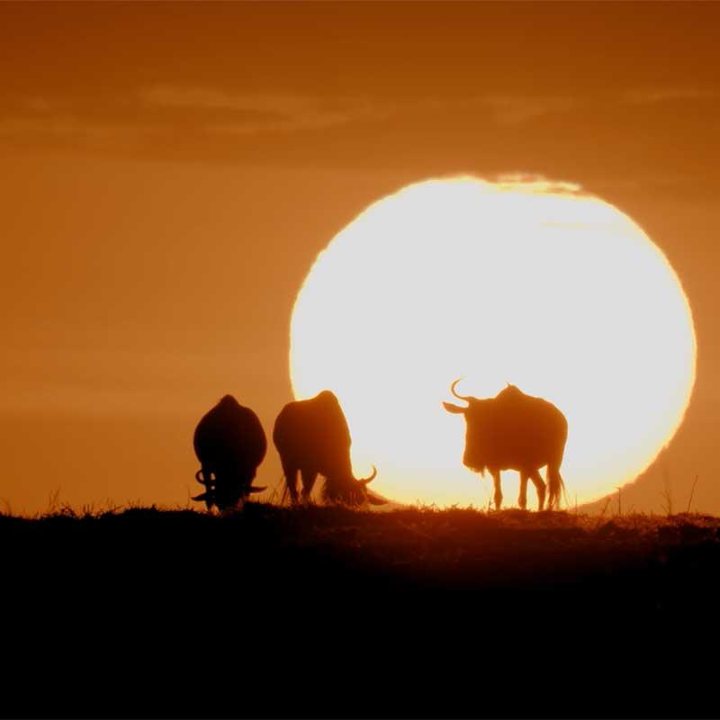 Photo of wildebeest silhouetted by the setting sun