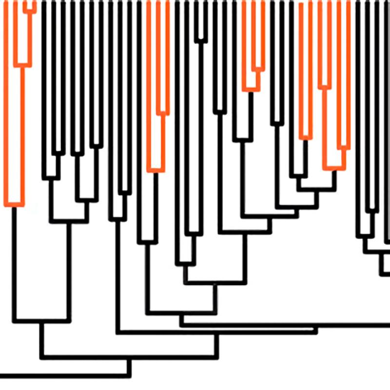 Part of a phylogenetic tree with many branches. Some branches are black, and others are orange.