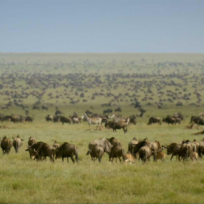 Photo of wildebeest on the Serengeti plain