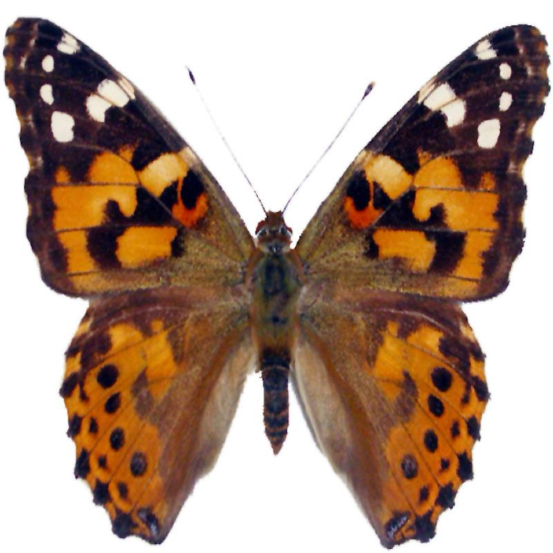 Photo of a painted lady butterfly