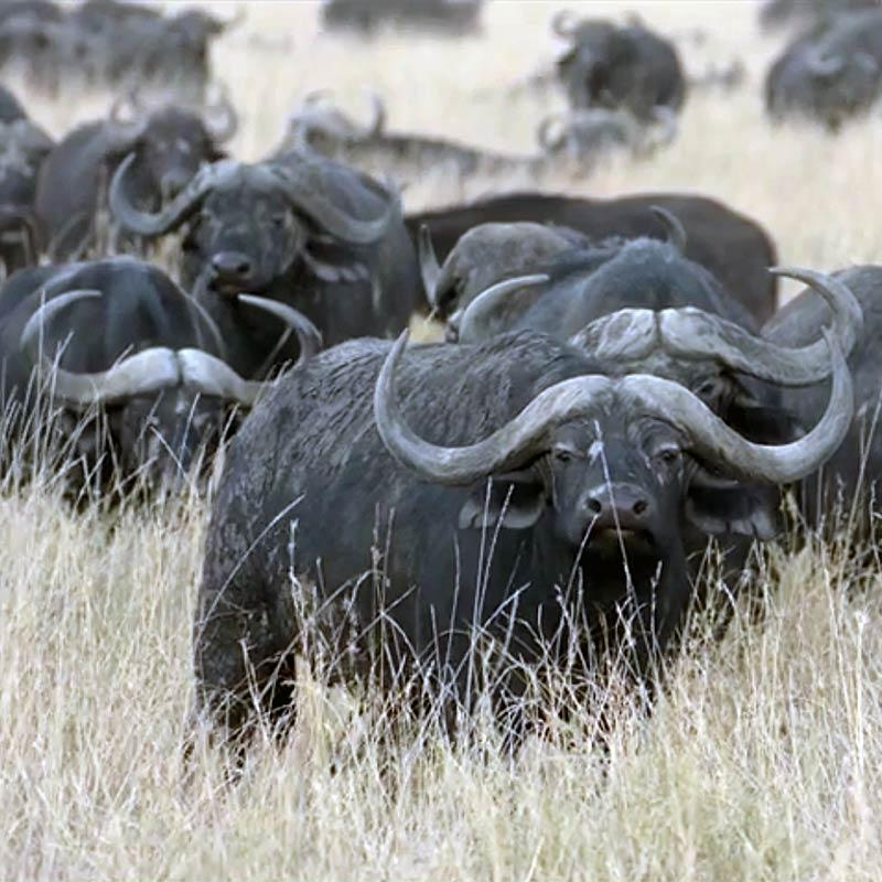 Photo of buffalo grazing on grassland.