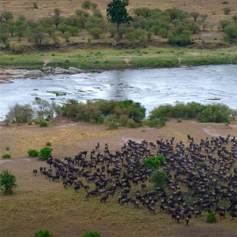 Photo of a herd of wildebeest preparing to cross a river.