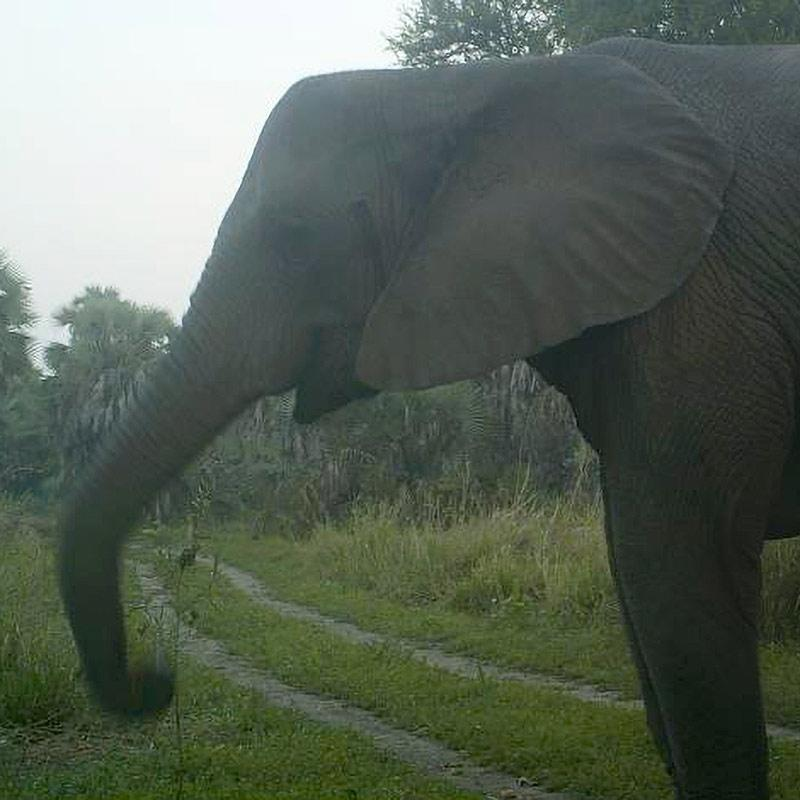 Photo of elephant without tusks