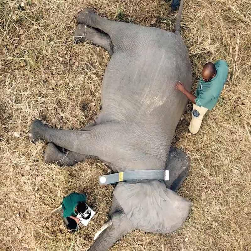 Overhead photo of researchers taking measurements of an anesthetized elephant